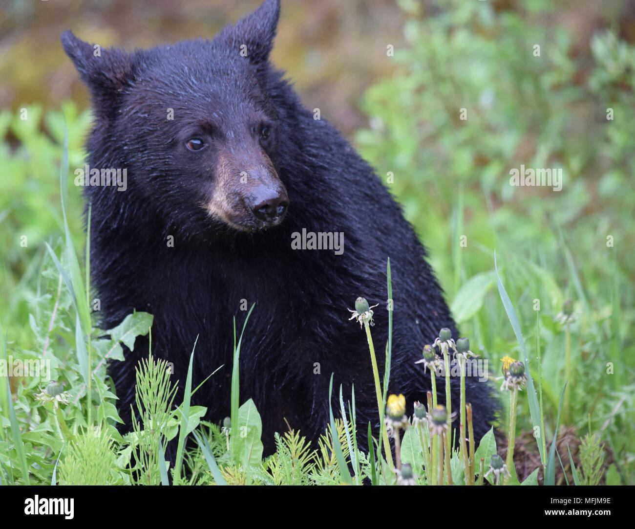 An adorable black bear cub enjoys a breakfast of dandelions on a rainy cool morning in the Canadian Rocky Mountains near Banff, Alberta - Stock Image