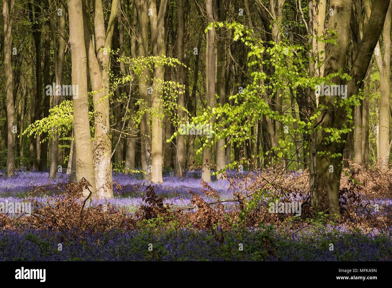 Micheldever, Hampshire. 26th Apr, 2018. UK weather, April 26th 2018 - Sunlight breaks through a canopy of fresh green Beech tree leaves onto a carpet of native English Bluebells (Hyacinthoides non-scripta) in woods near to Micheldever in Hampshire, England. Credit: RTimages/Alamy Live News - Stock Image