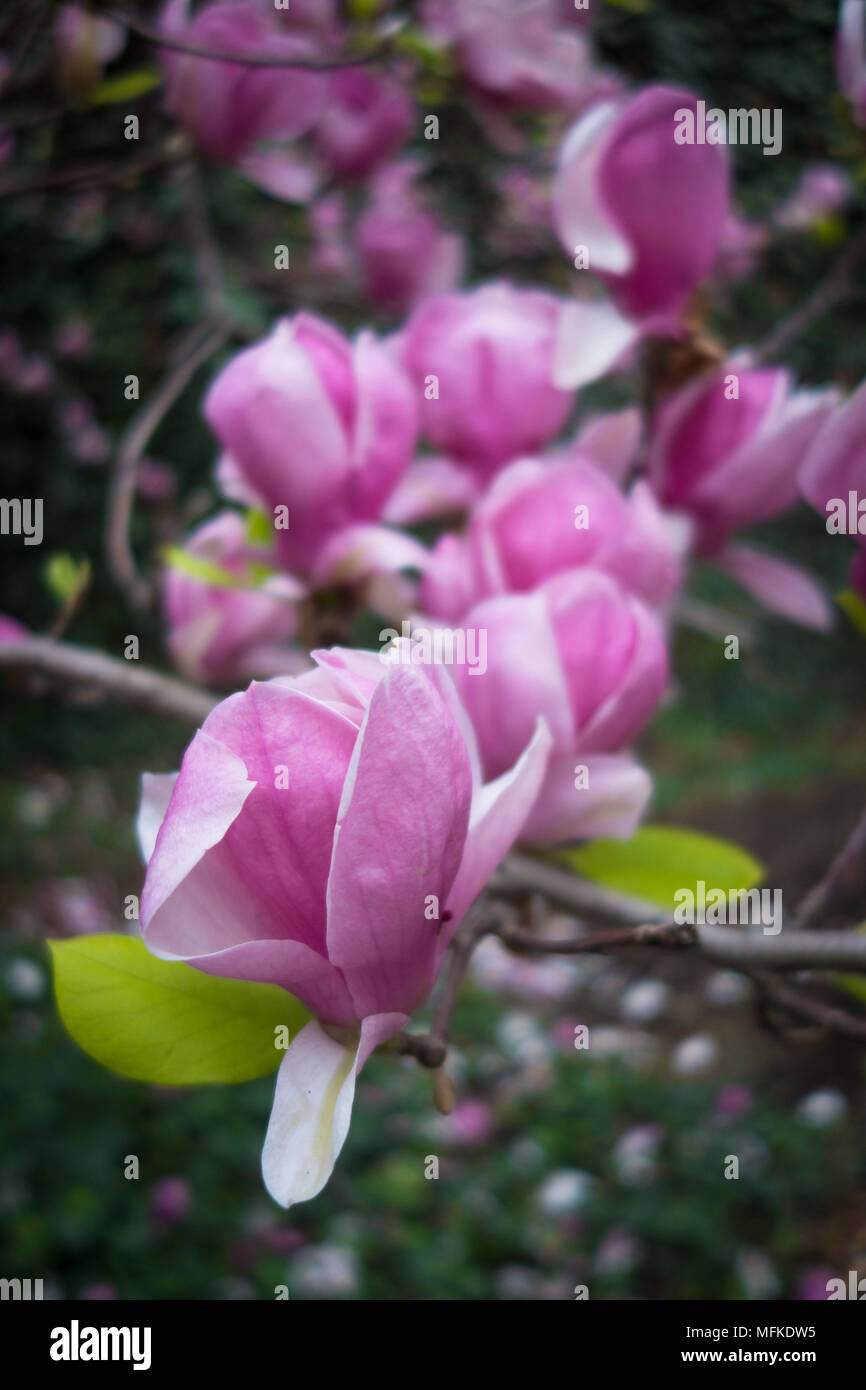 Beautiful pink magnolias in full bloom Stock Photo