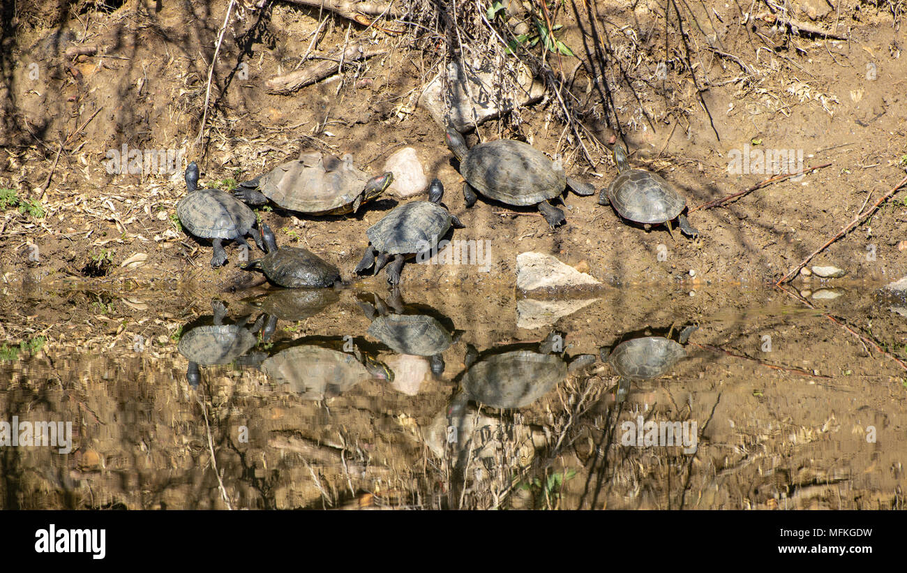 Reflection of Painted Turtles, Chrysemys picta, sunning on the bank with one shedding its shell   Wheatridge, Colorado USA - Stock Image
