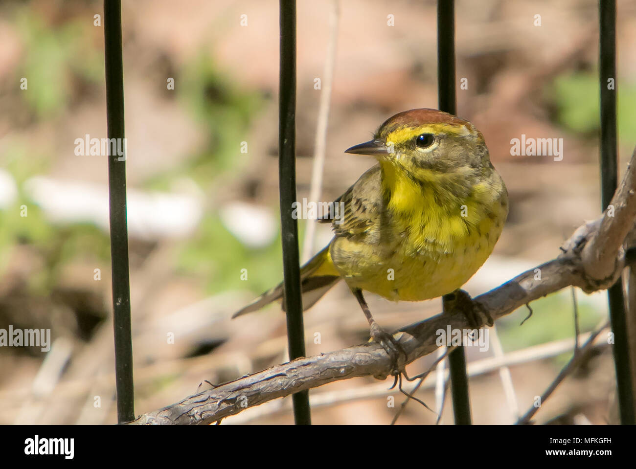 Palm Warbler [Setophaga palmarum]. Central Park, NYC. - Stock Image