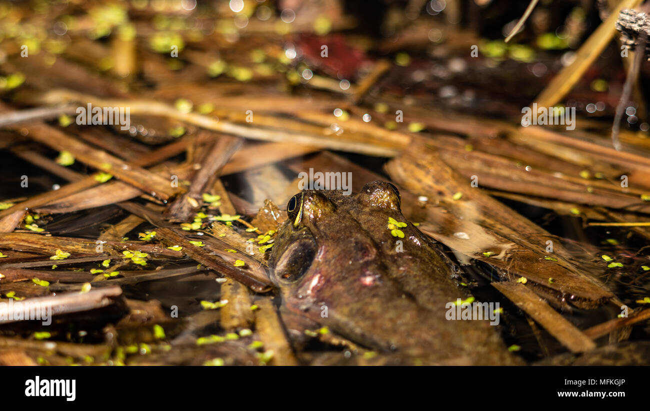 American Bull Frog, Lithobates catesbeianus, displaying perfect camouflage covered in duck weed in floating cattails also a scared back Colorado USA - Stock Image