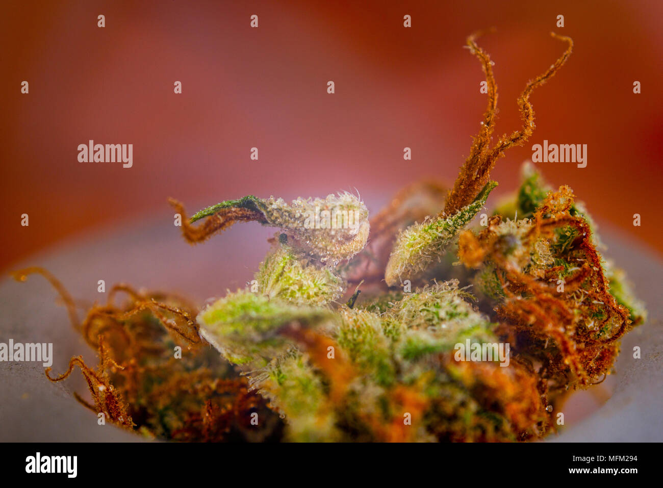 Macro detail of cannabis calyxes (sour tangie strain)  with visible trichomes - Medical marijuana concept - Stock Image