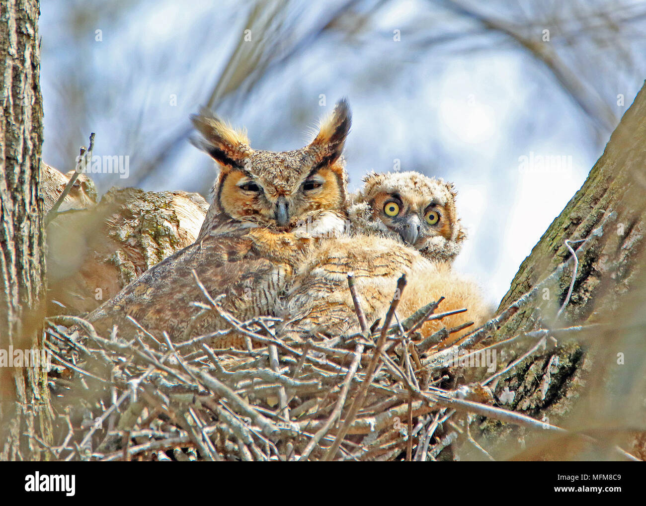 great horned owl and owlet stock photo 181769177 alamy