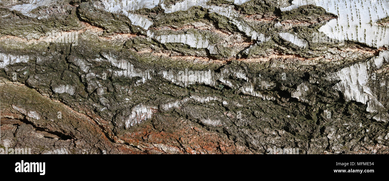 A large horizontal long banner -the bark of an old birch tree. Panoramic collage from several outdor sunny day shots - Stock Image
