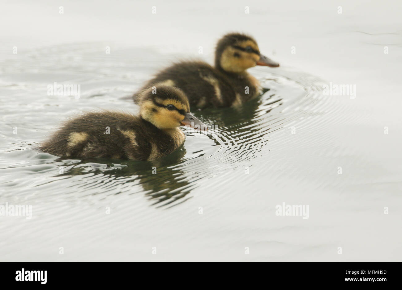 Two cute Mallard duckling (Anas platyrhynchos) hunting for food in a river. Stock Photo