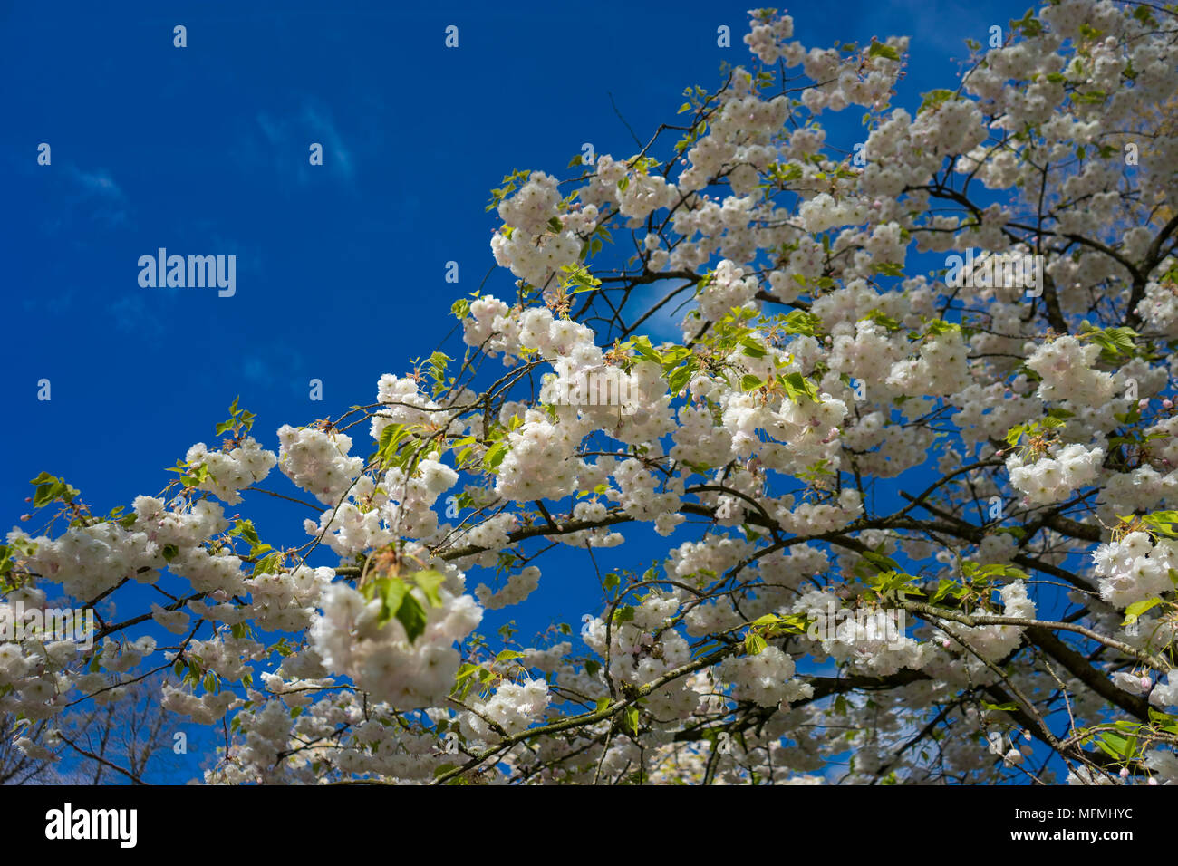 Beautiful colourful cherry blossom flowers with beautiful background beautiful colourful cherry blossom flowers with beautiful background on a spring day mightylinksfo