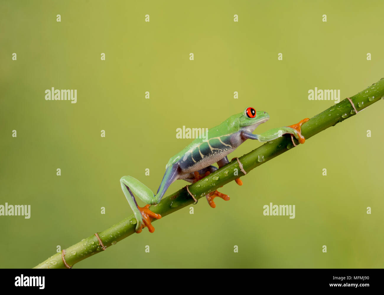 Red eyed tree frogs ina  studio setting Stock Photo