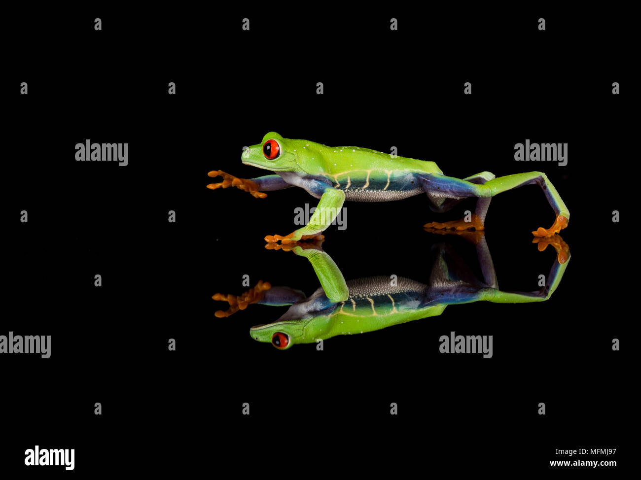 red eyes Red eyed tree frog reflected in a  studio setting Stock Photo