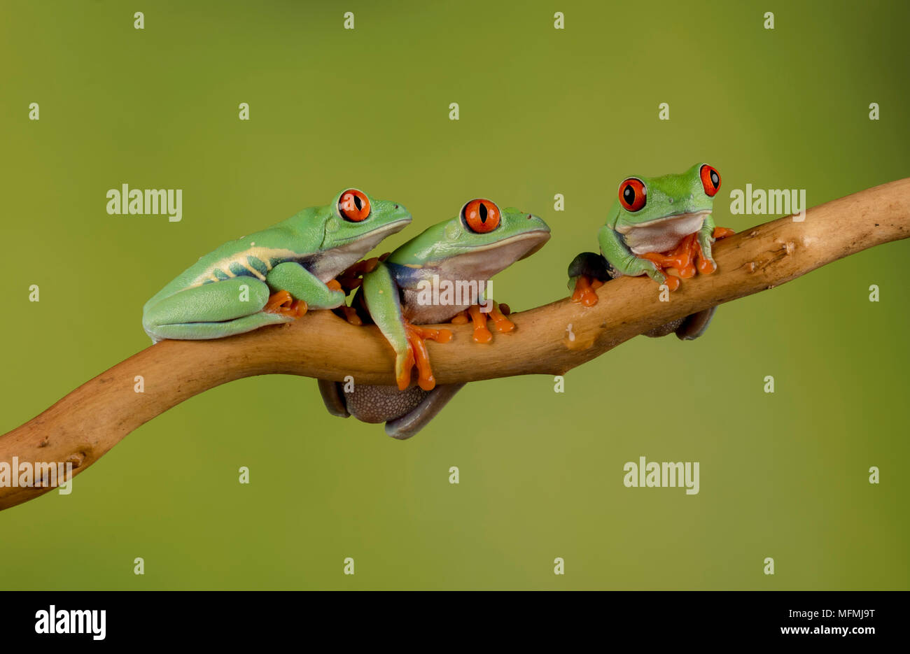 Red eyed tree frogs ina  studio setting - Stock Image