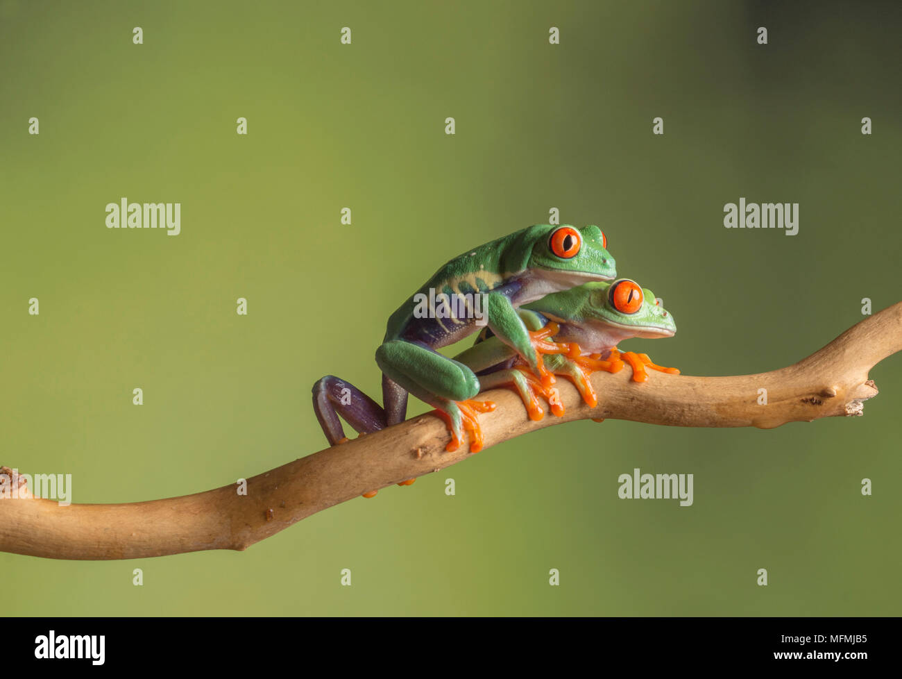 Red eyed tree frogs in a  tudio setting - Stock Image