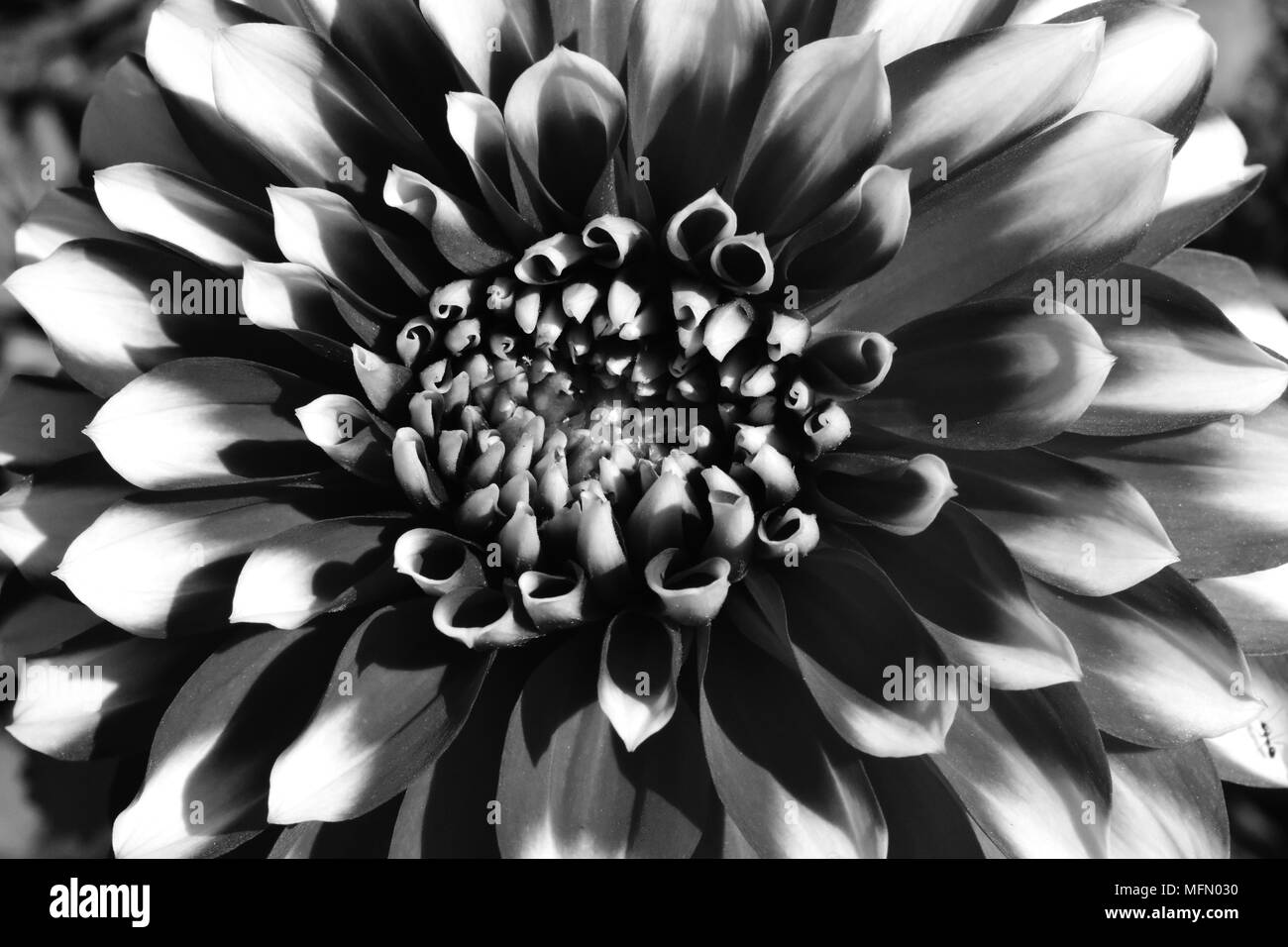 White Round Flowers Black And White Stock Photos Images Alamy