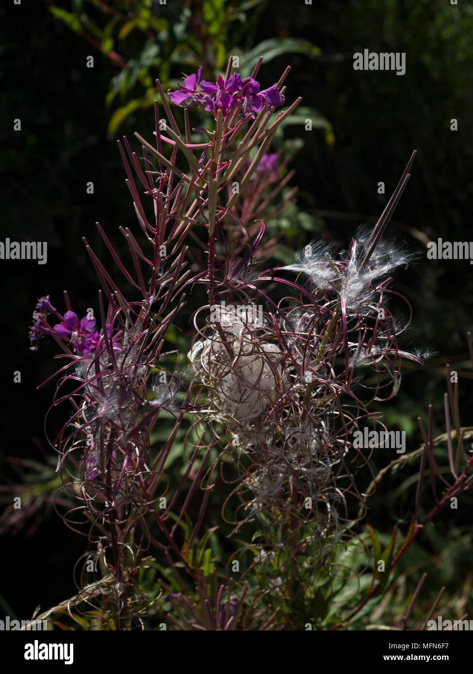 Seeds of Chamaenerion angustifolium ready to fly away in the wind. Stock Photo