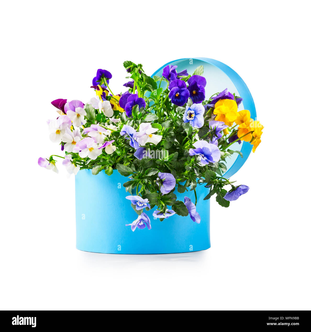 Blue gift box with pansy flowers isolated on white background clipping path included. Spring garden viola tricolor as holiday present and mothers day  Stock Photo