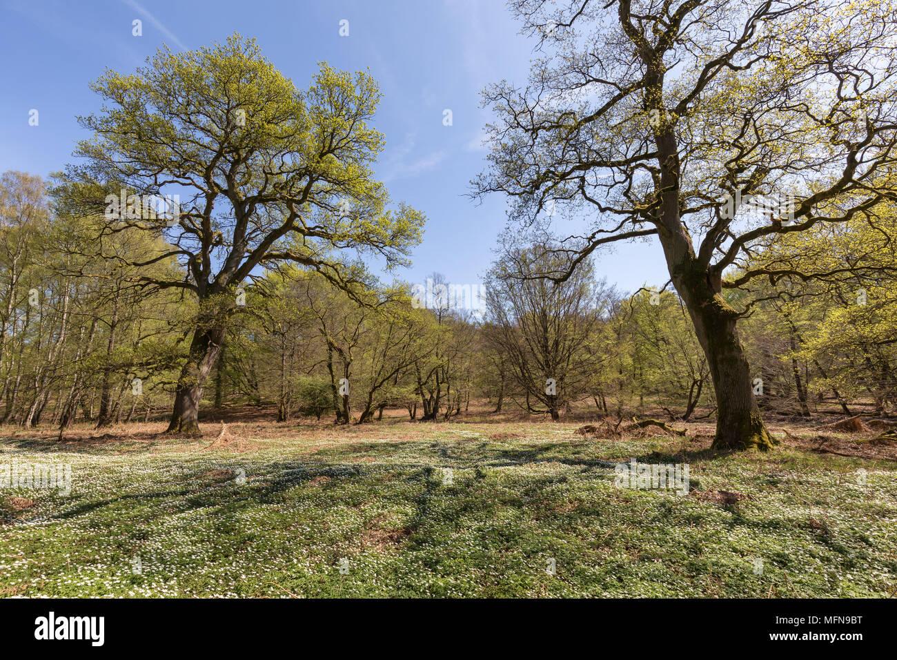 oak trees in springtime - Stock Image