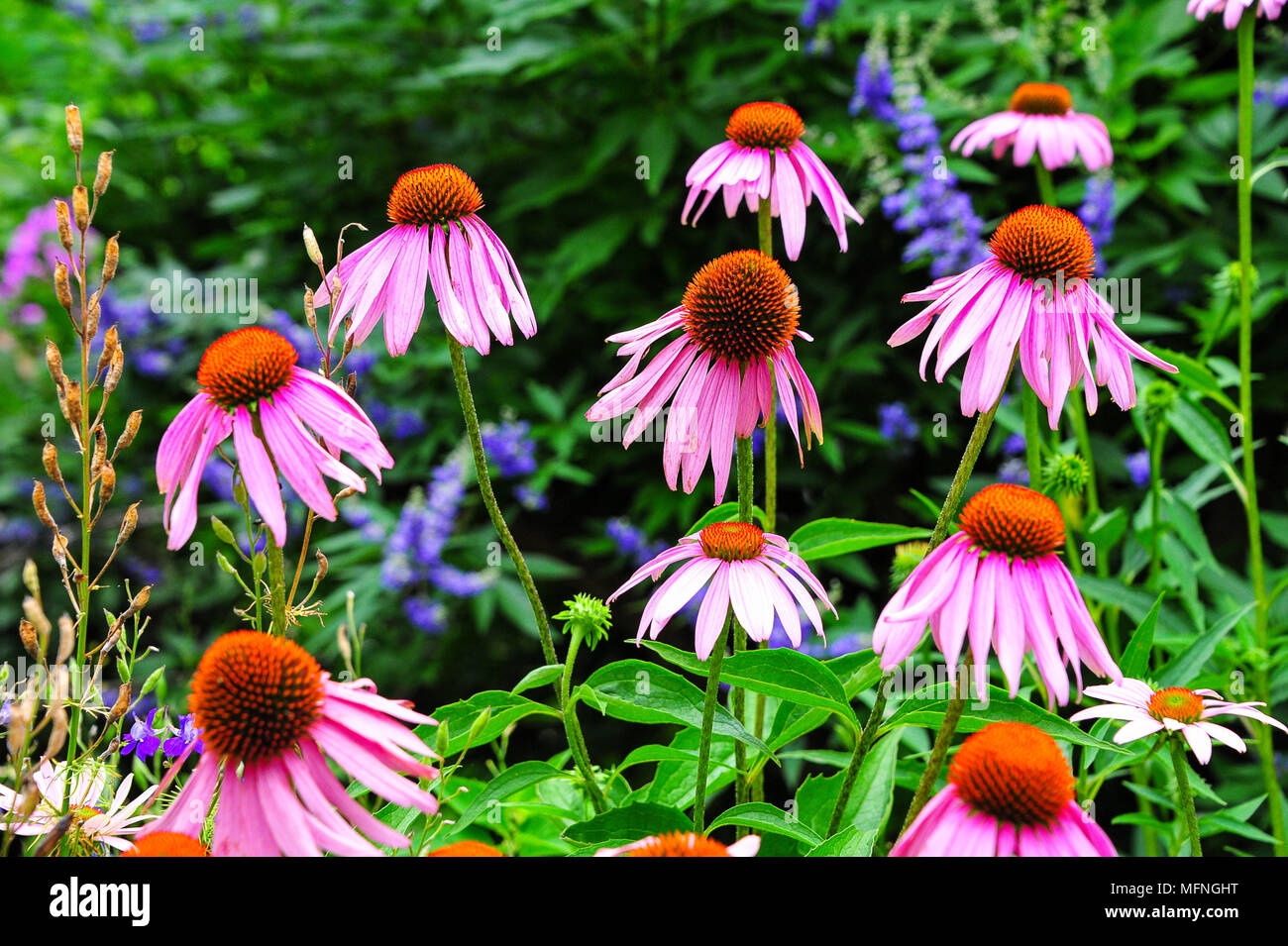 Pretty pink Echinacea purpurea (eastern purple coneflower) in bloom. Commonly used in the pharmaceutical trade - Stock Image