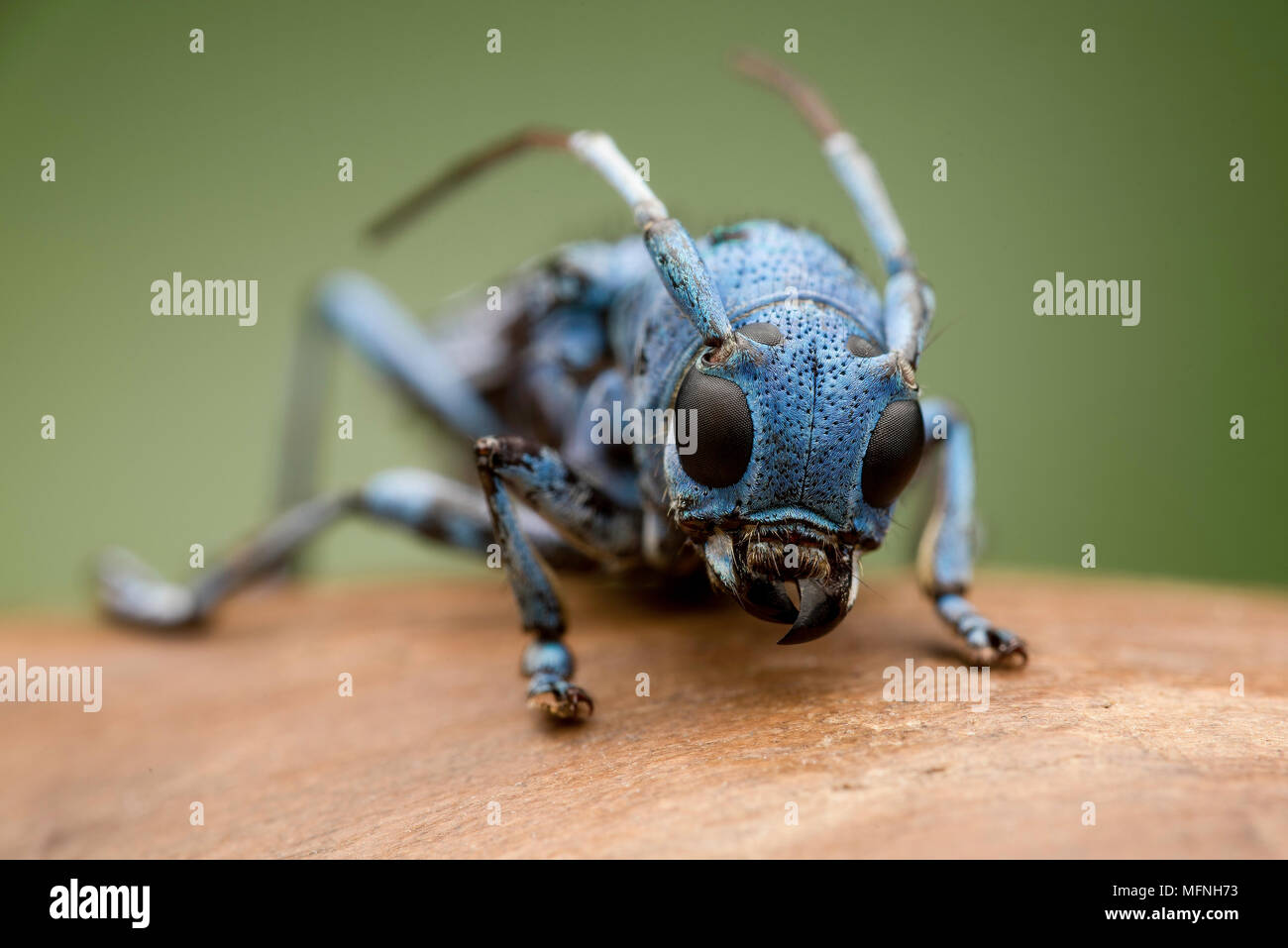 Cerambicidae - Stock Image