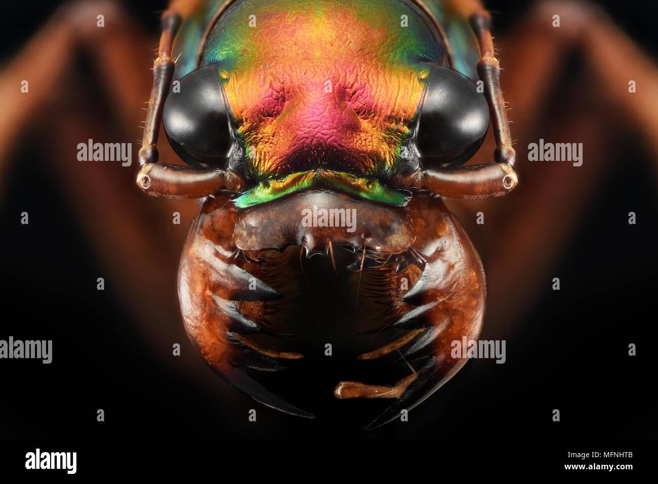 Tiger beetle - extreme macro photography - Ciccindelidae - Stock Image
