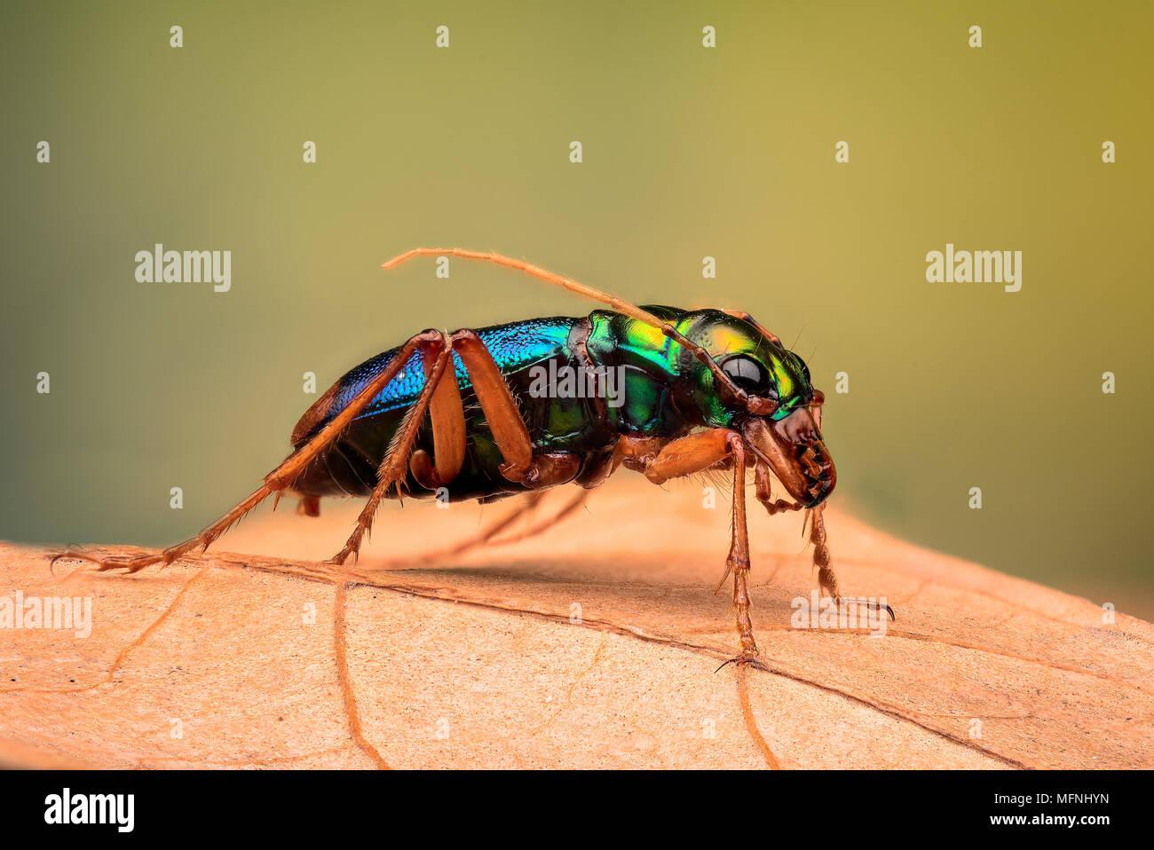 Tiger beetle - Ciccindelidae - Stock Image