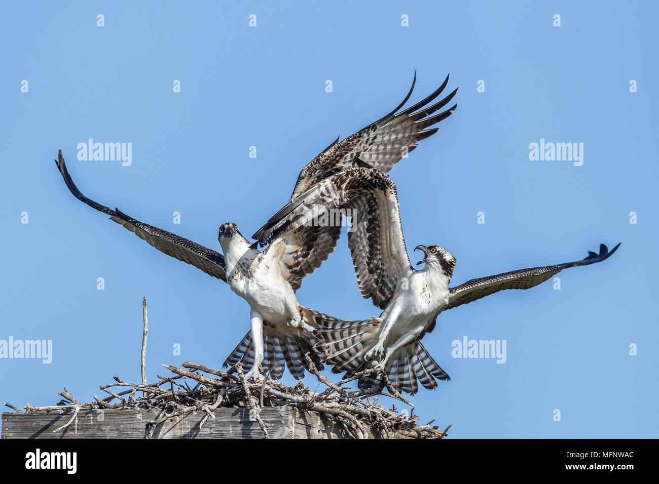 Ospreys at Nest Florida Stock Photo