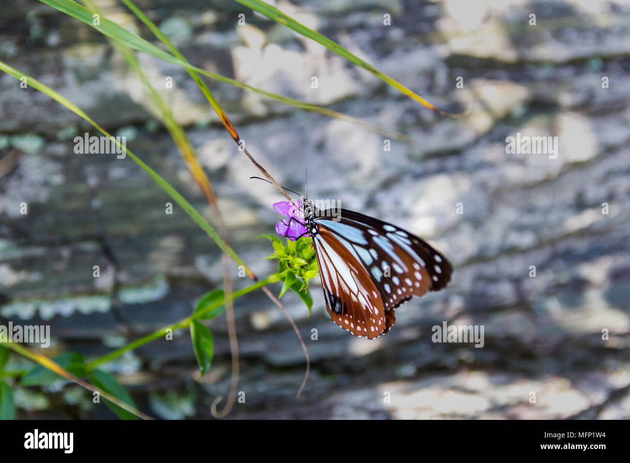 Chestnut tiger butterfly (Parantica sita) on a flower; Sadamisaki Peninsula, Ehime Prefecture, Japan - Stock Image