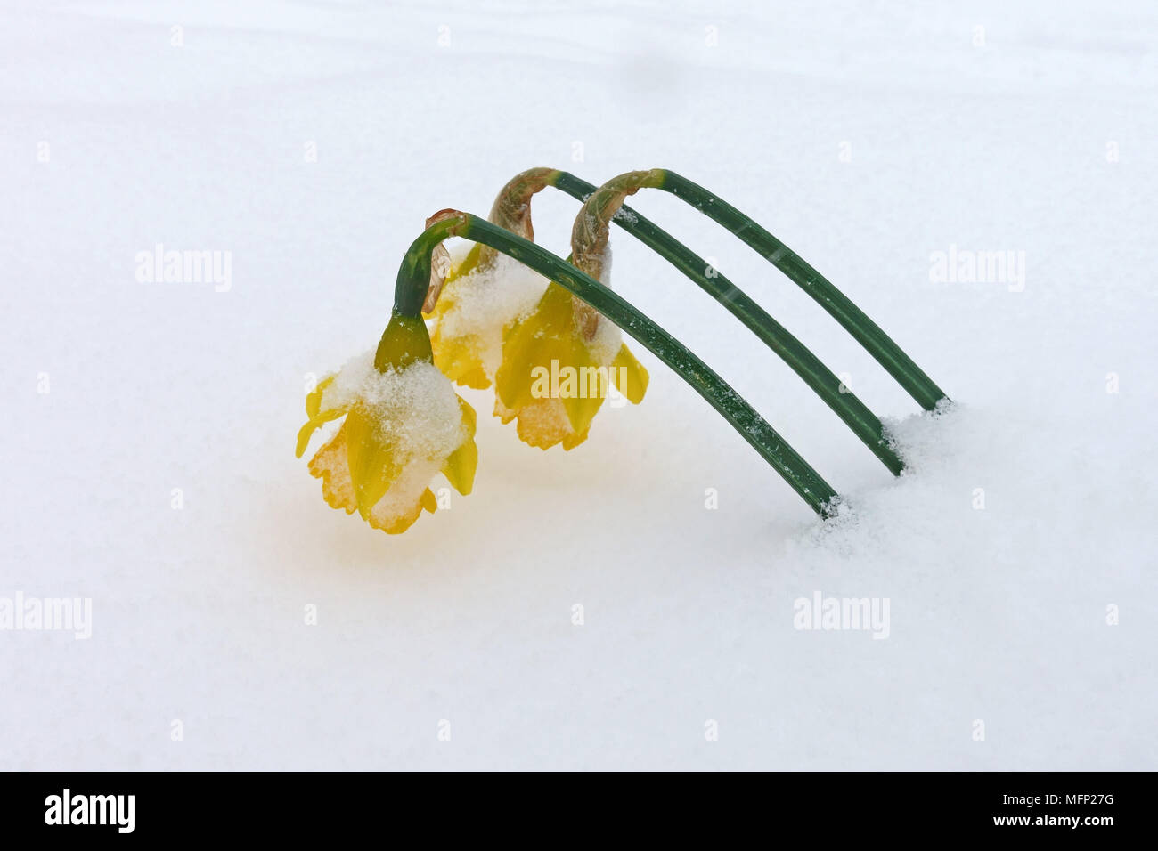Bowing heads of yellow daffodils, Narcissus, poking through covering of fresh white snow on a grey day, March - Stock Image