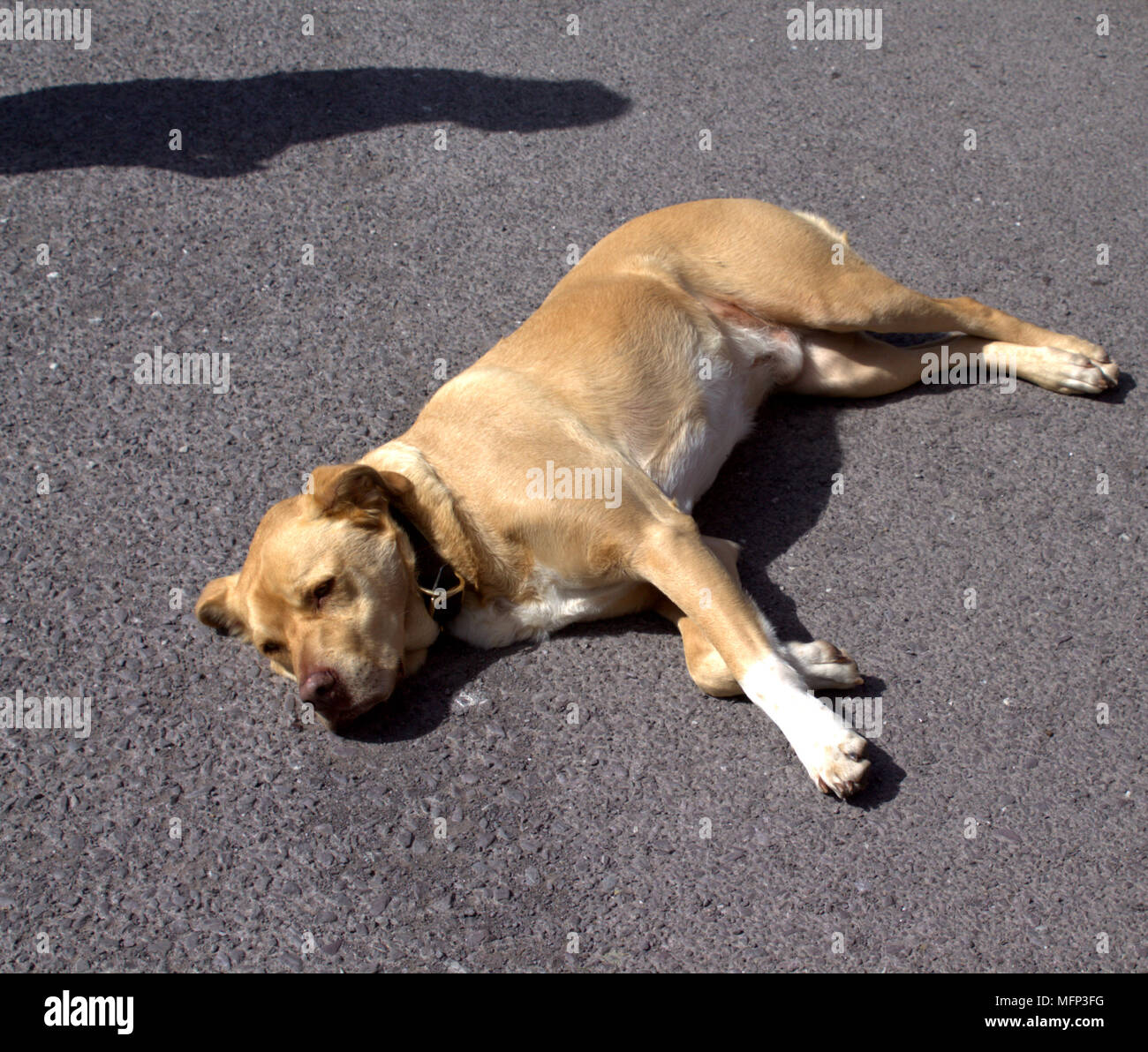 dog asleep in the road on a hot summers day. - Stock Image