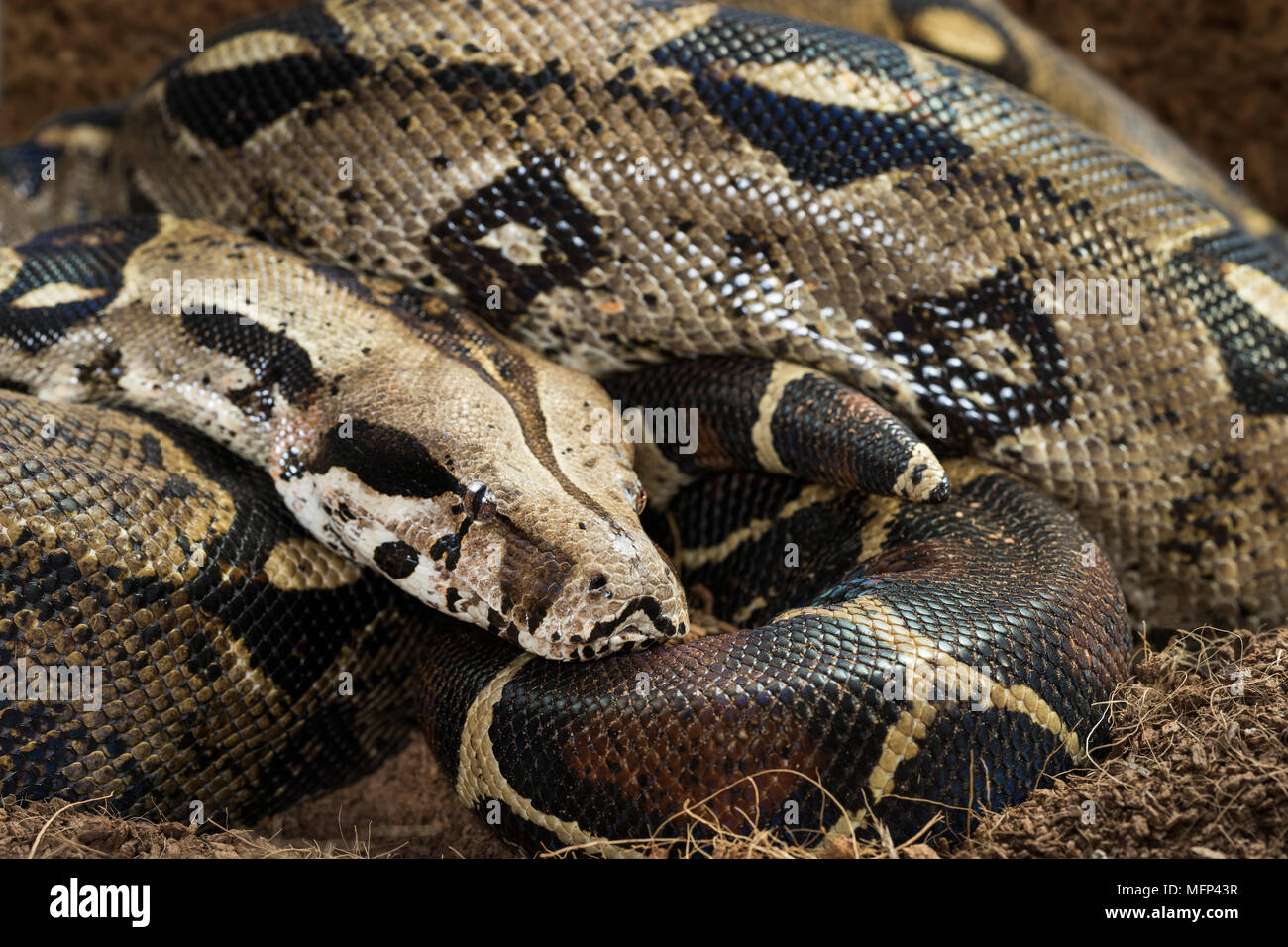 Boa constrictor imperator  Nominal Colombia - colombian