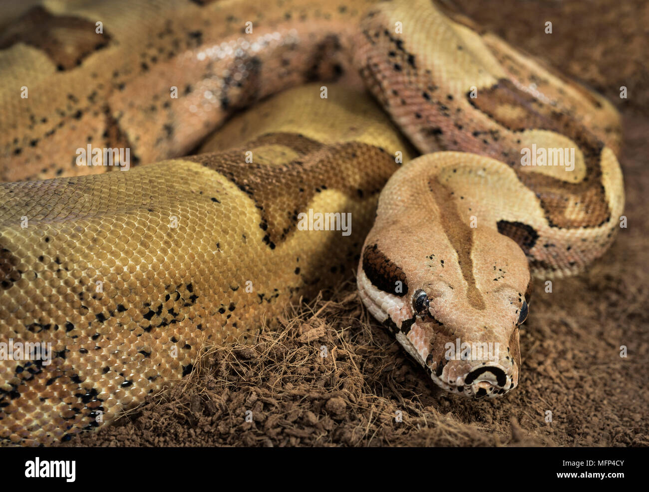 Albino Boa Constrictor High Resolution Stock Photography And Images Alamy