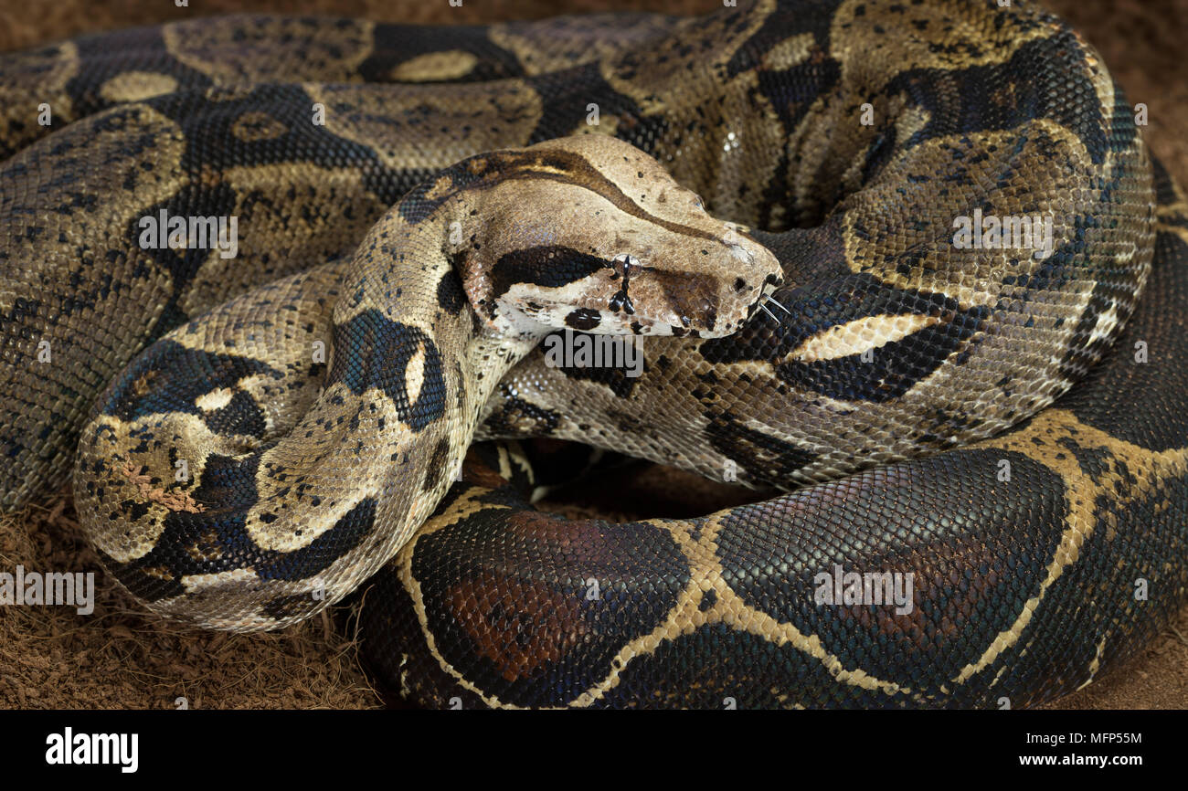 Close up of Boa constrictor imperator - nominal Colombia