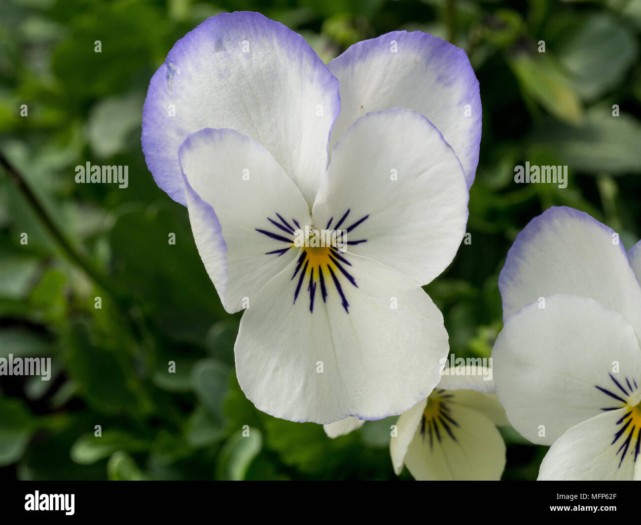Close up of the cream and blue flowers of Viola Blue Picote - Stock Image