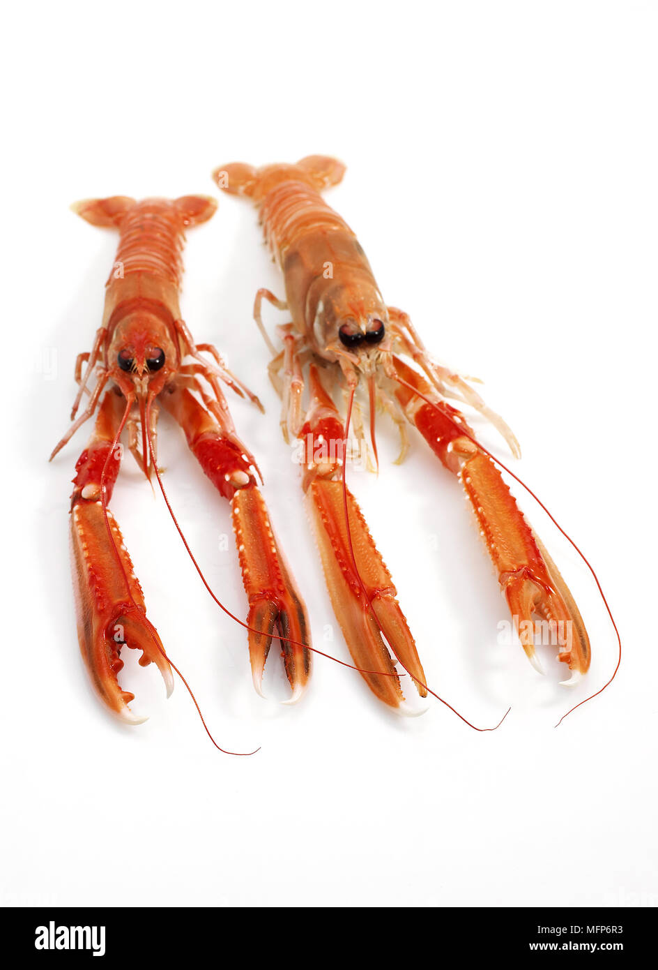 Dublin Bay Prawn or Norway Lobster or Scampi, nephrops norvegicus, Crustacean against White Background - Stock Image