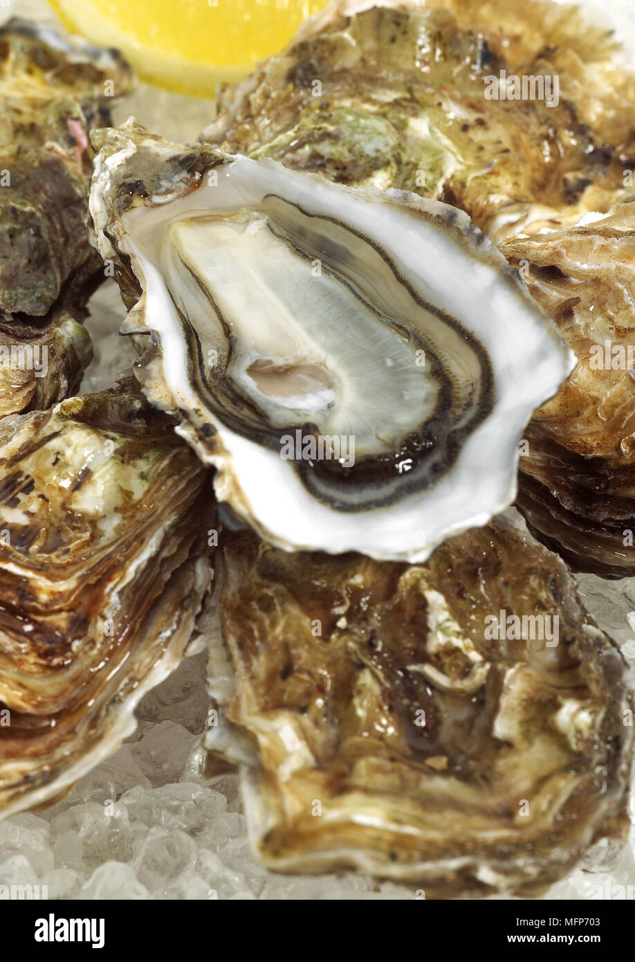French Oyster Called Marennes d'Oleron, ostrea edulis, Seafoods on Ice - Stock Image
