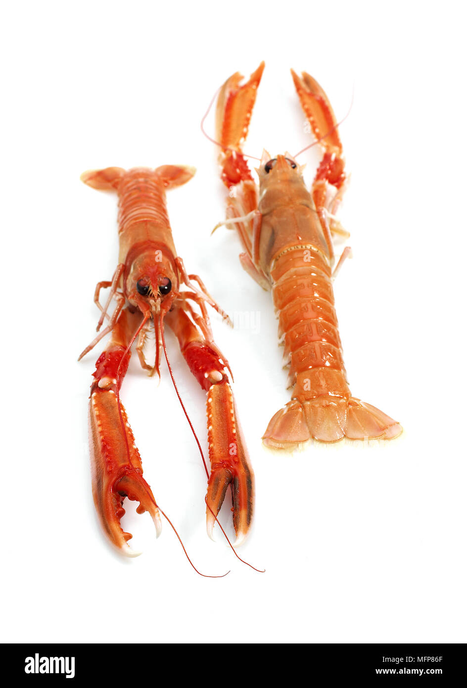 Dublin Bay Prawn or Norway Lobster or Scampi, nephrops norvegicus against White Background - Stock Image