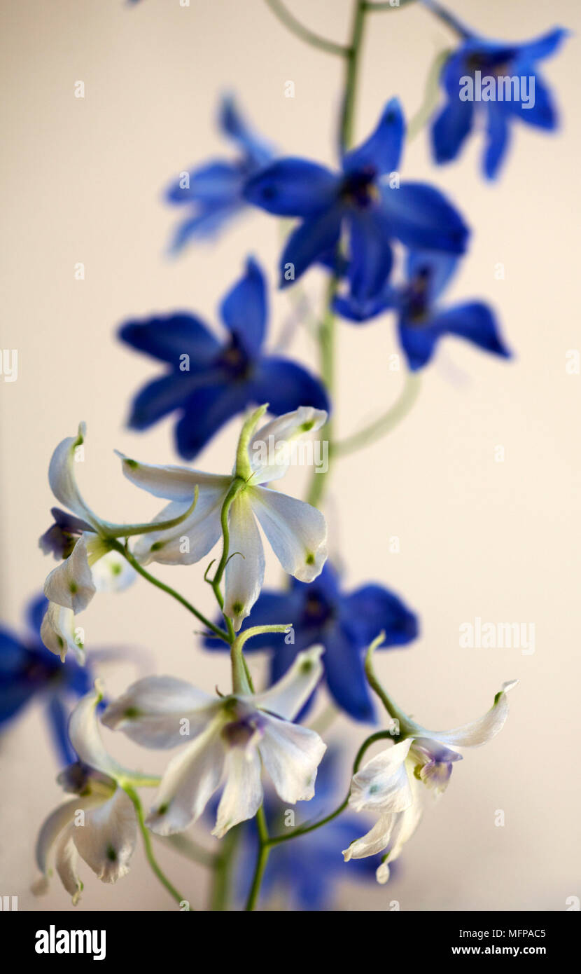 Contrasting Blue And White Delphinium Flowers In August Stock Photo