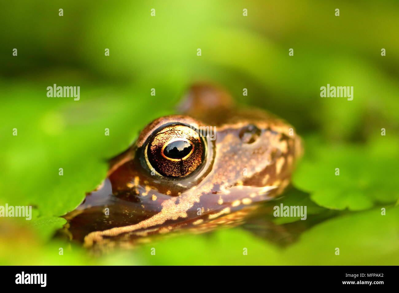 EUROPEAN COMMON FROG Rana Temporaria - Stock Image
