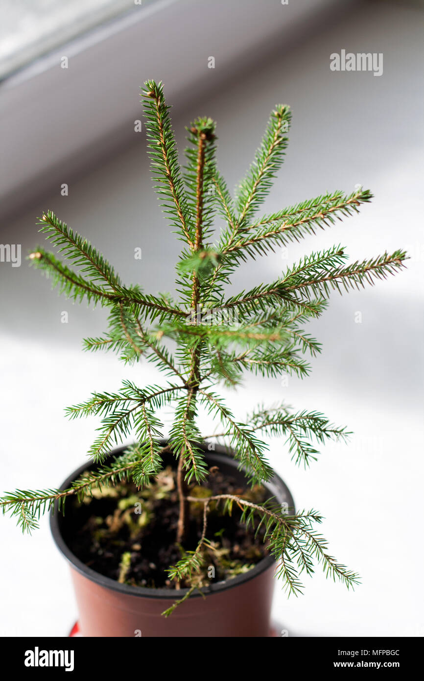 Small potted fir tree near window close up - Stock Image