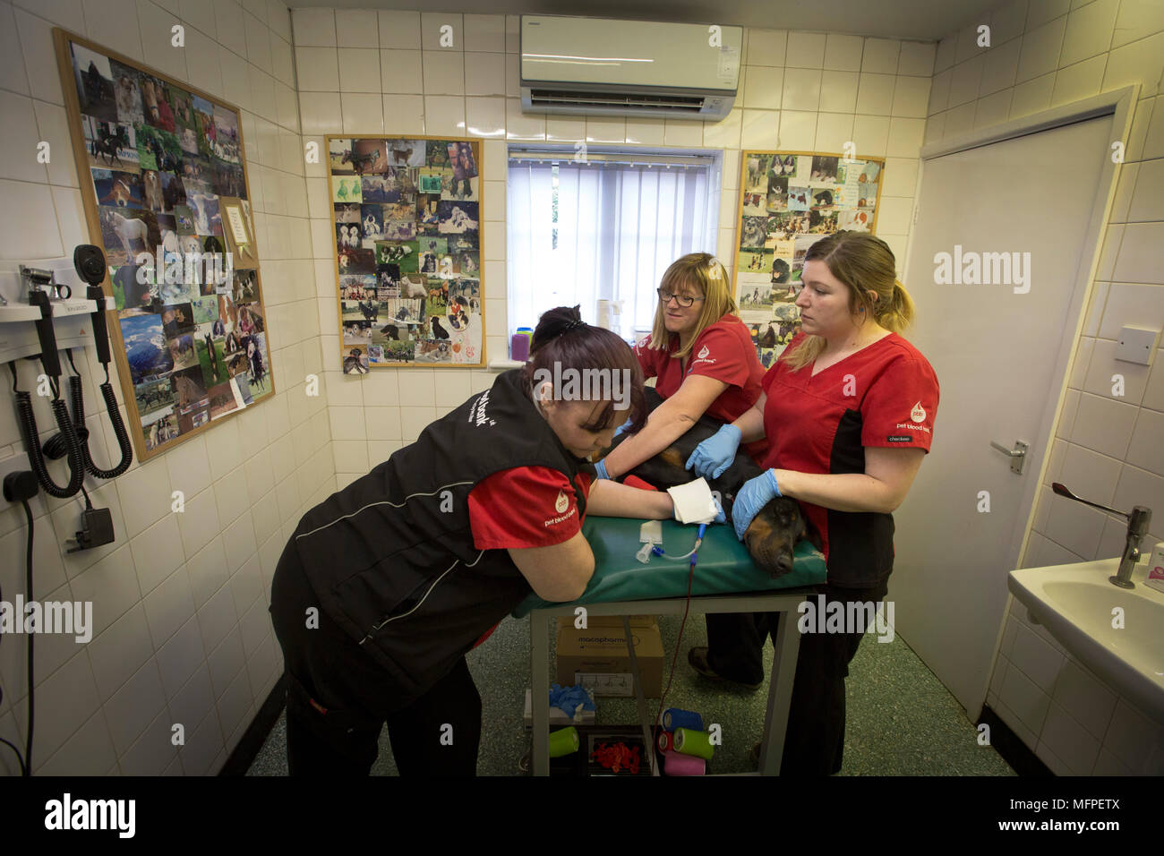 Staff from Pet Blood Bank, taking blood from Roxy the Doberman, at a blood donation session for dogs held at a veterinary hospital in Penkridge, Staffordshire. - Stock Image