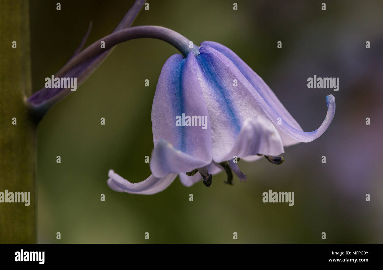 Close Up of a Spanish Bluebell, Hyacinthoids in a garden in Shepperton, England, U.K. - Stock Image