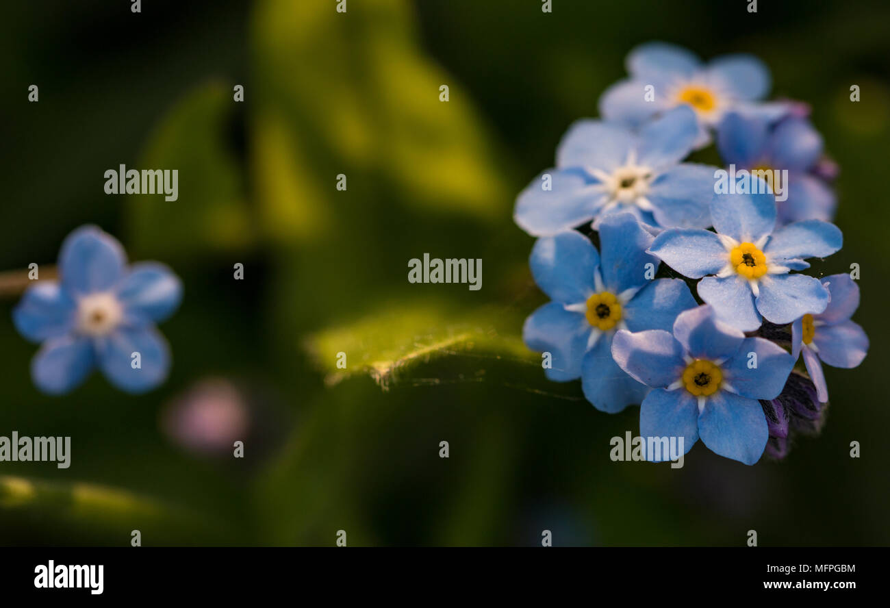 Myosotis Sylviatica, Forget Me Not, macro image showing delicate blue flowers with yellow centre, Shepperton, England, U.K. Stock Photo
