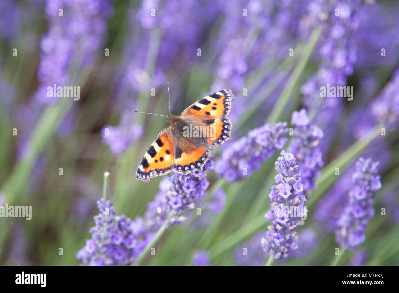 A small tortoiseshell butterfly (Aglais urticate), a common in the English countryside in summertime, perches on a lavender flower. - Stock Image