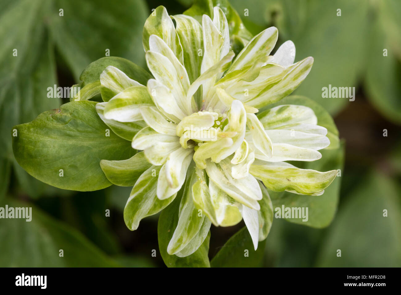 Double White And Green Flower Of The Unusual Variety Of The Spring