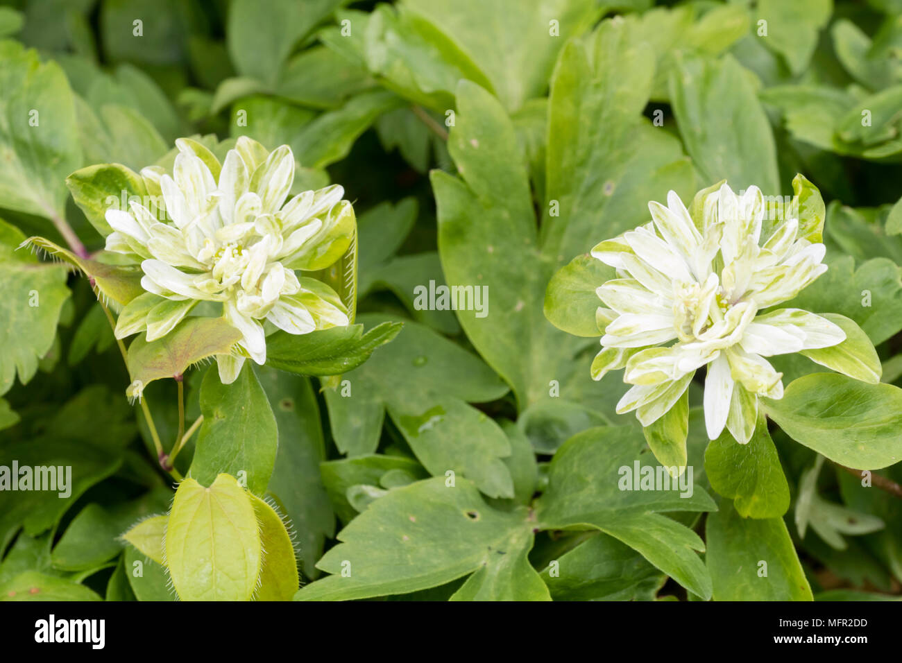 Double white and green flower of the unusual variety of the spring flowering wood anemone, Anemone nemorosa 'Tage Lundell' - Stock Image