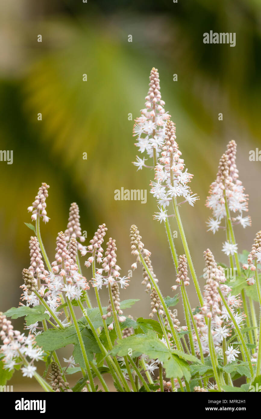 White flowers on the spikes of the spring flowering perennial foam flower, Tiarella 'Iron Butterfly' - Stock Image