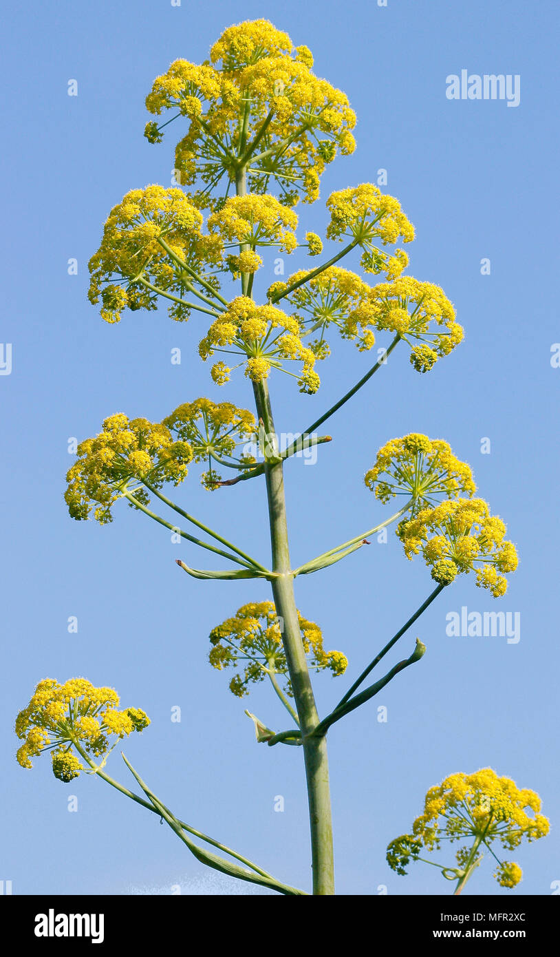 This Ferula Is A Tall Impressive Plant With Branching Stems