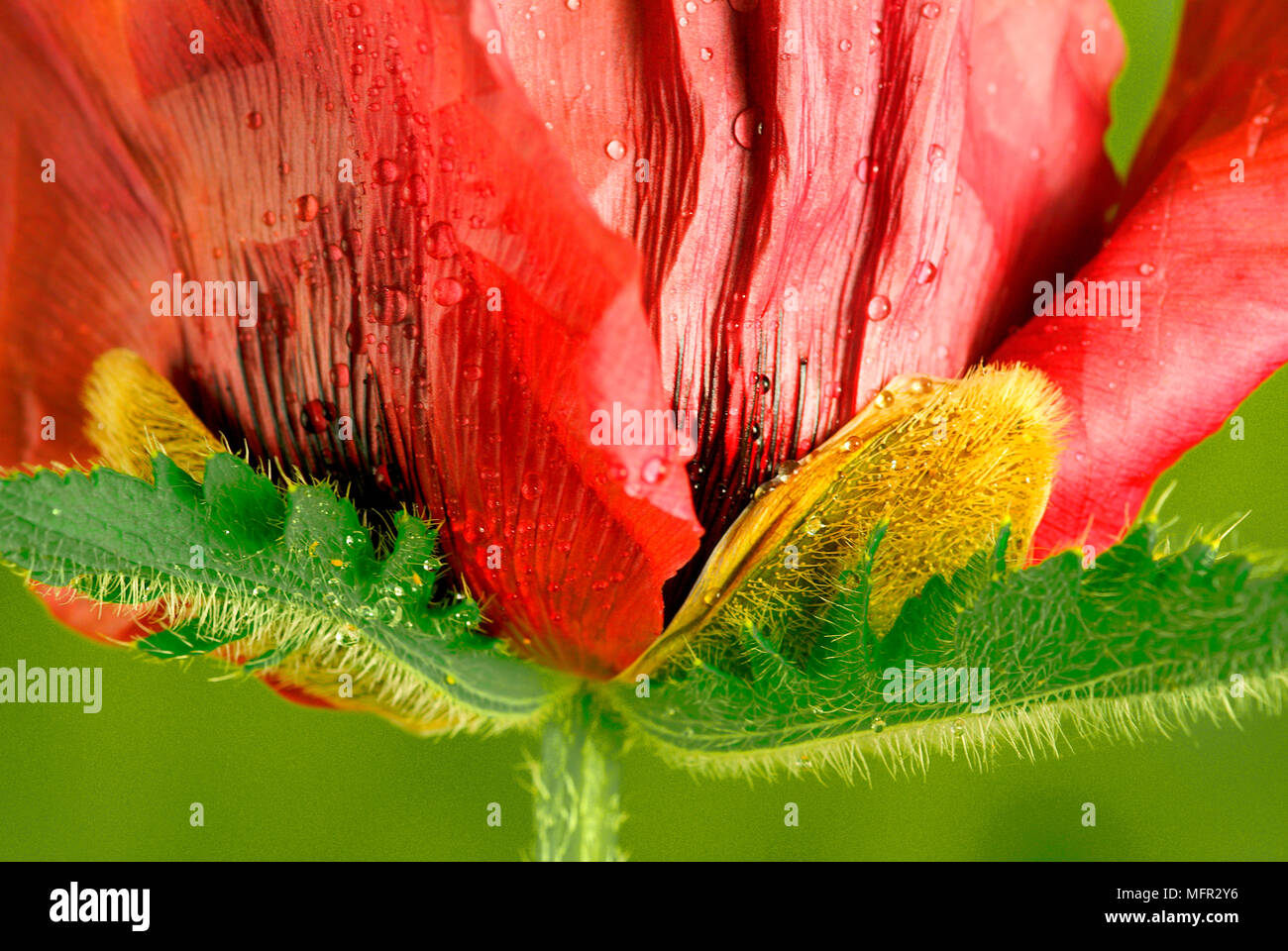 Shiny petals of the underside of Patty's plum poppy, showing the hairy leaves and the calyx. - Stock Image