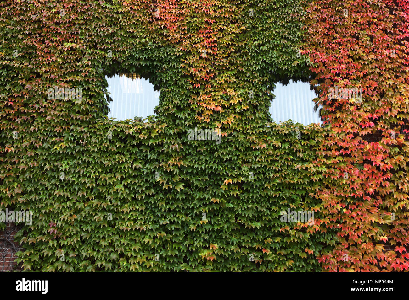Redish ivy covers a building in the late autumn season, Ontario, Canada. - Stock Image