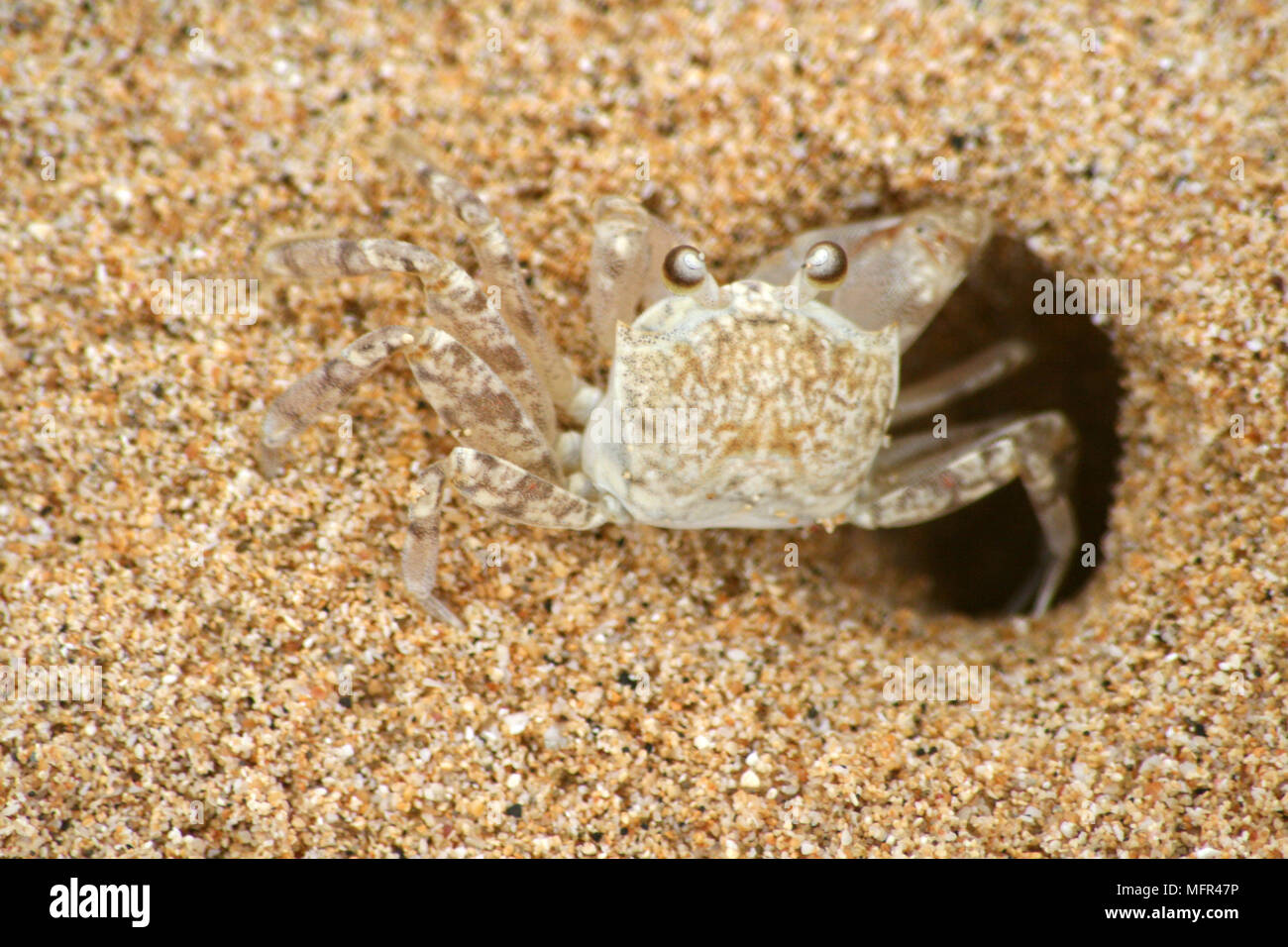 A Hawaiian crab (Lybia), also known as the boxer crab or pom-pom crab, coming out of a hole in the sand on a beach, Hawaii, USA. - Stock Image