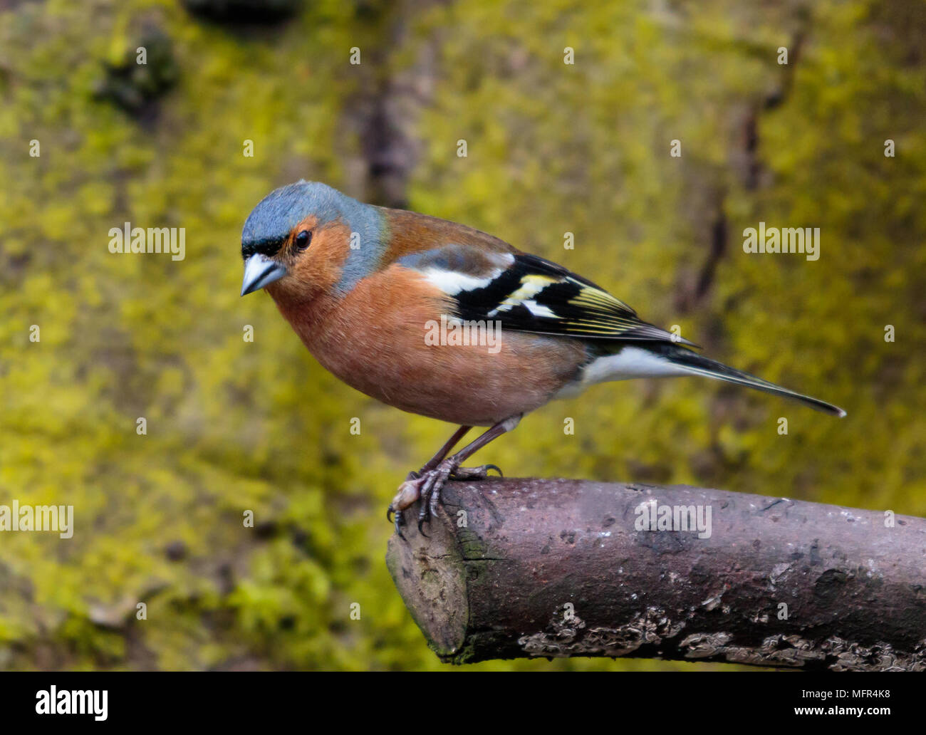 Chaffinch Male - Stock Image