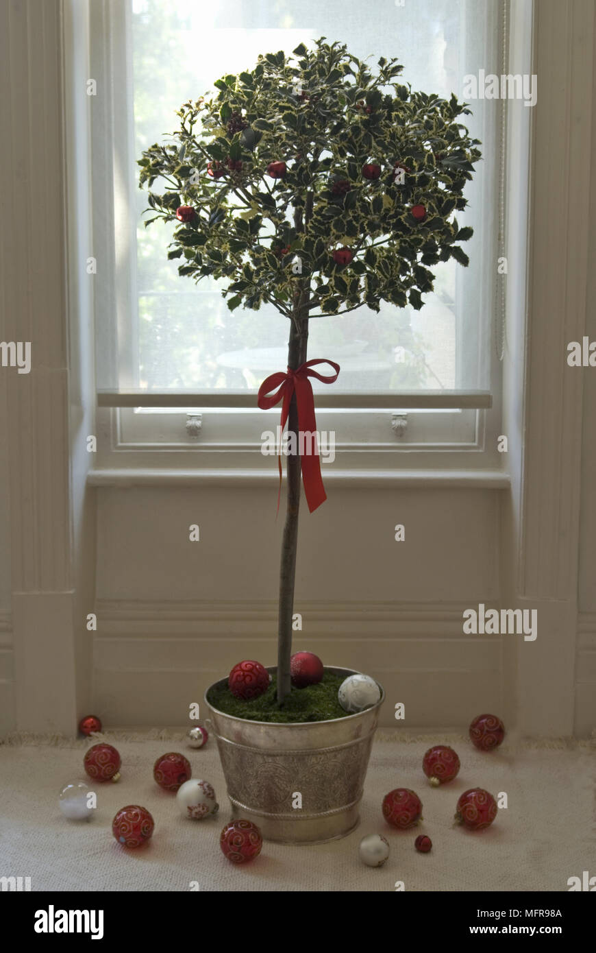 standard variegated holly ilex aquifolium silver queen tree in indoor pot by window with christmas decorations - Queen Christmas Decorations
